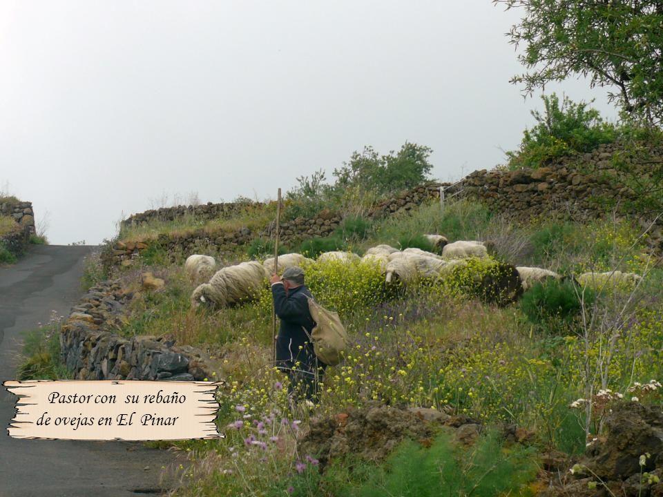 Pastor con su rebaño de ovejas en El Pinar