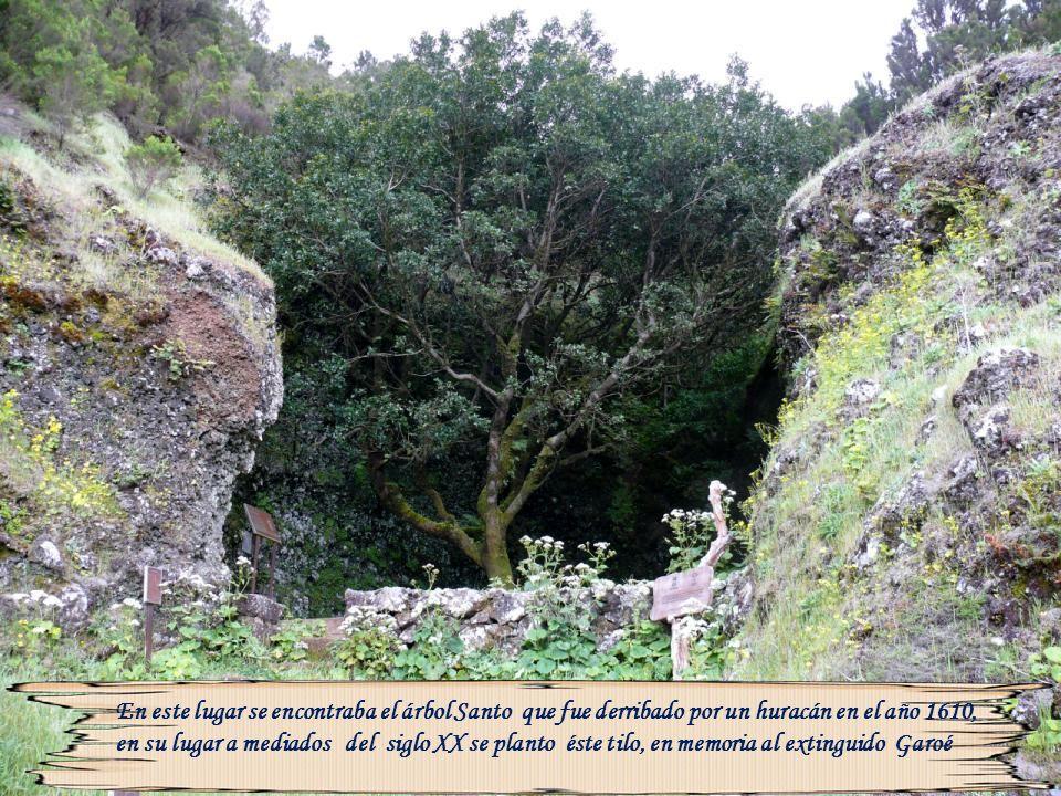 En este lugar se encontraba el árbol Santo que fue derribado por un huracán en el año 1610, en su lugar a mediados del siglo XX se planto éste tilo, en memoria al extinguido Garoé