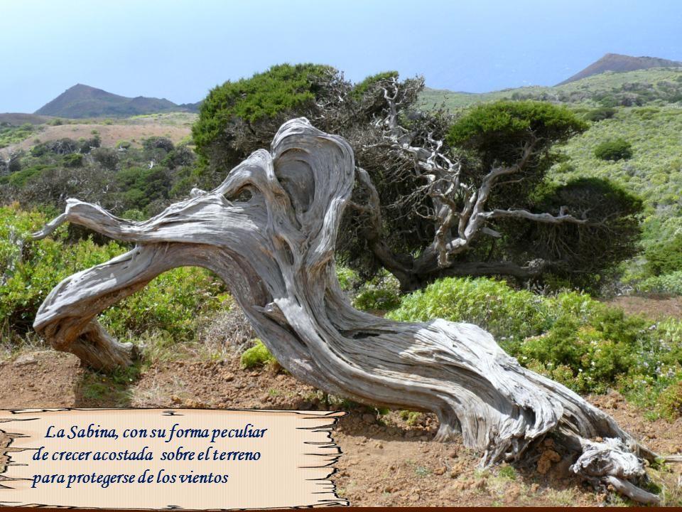 La Sabina, con su forma peculiar de crecer acostada sobre el terreno para protegerse de los vientos
