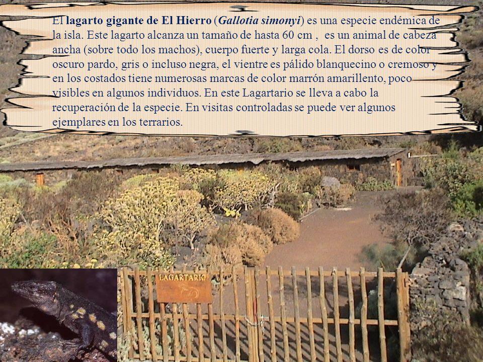 El lagarto gigante de El Hierro (Gallotia simonyi) es una especie endémica de la isla.