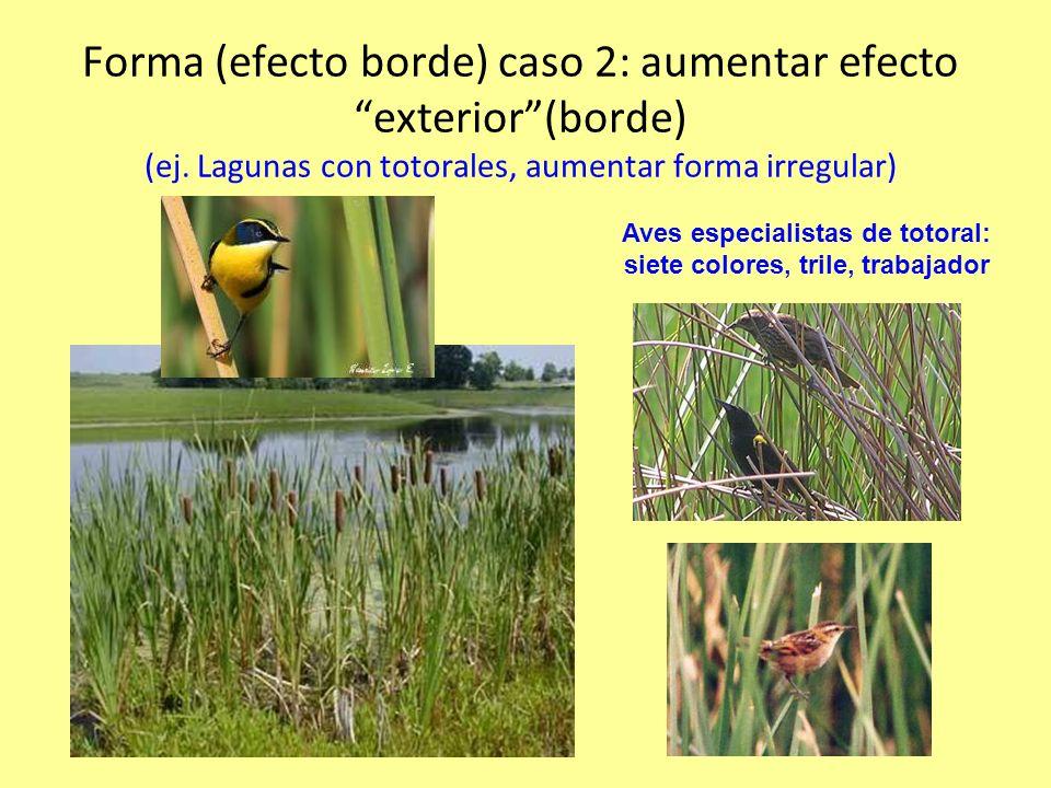 Aves especialistas de totoral: siete colores, trile, trabajador