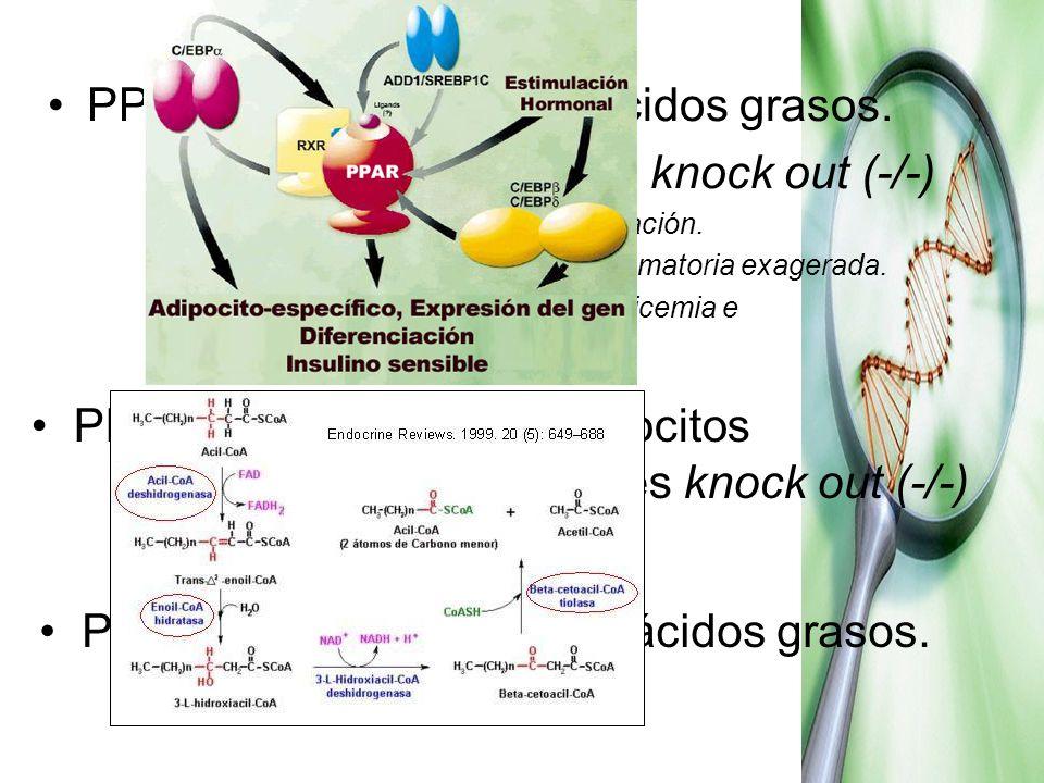 PPARα Metabolismo de ácidos grasos. Experiencias ratas knock out (-/-)