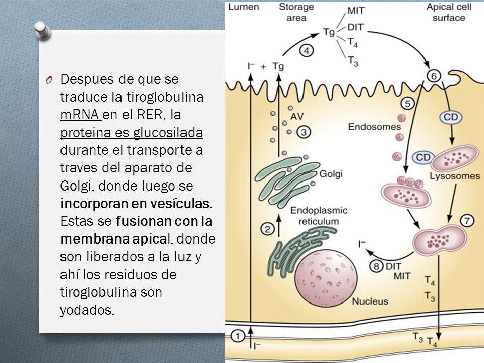 Despues de que se traduce la tiroglobulina mRNA en el RER, la proteina es glucosilada durante el transporte a traves del aparato de Golgi, donde luego se incorporan en vesículas.