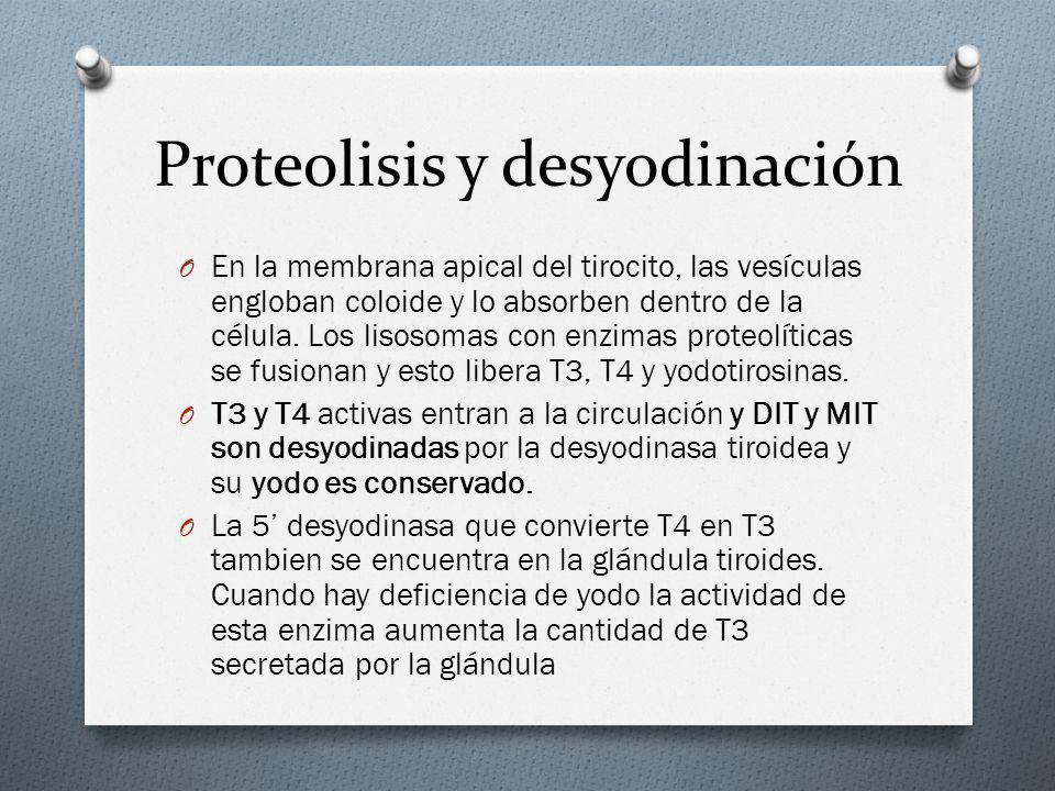 Proteolisis y desyodinación