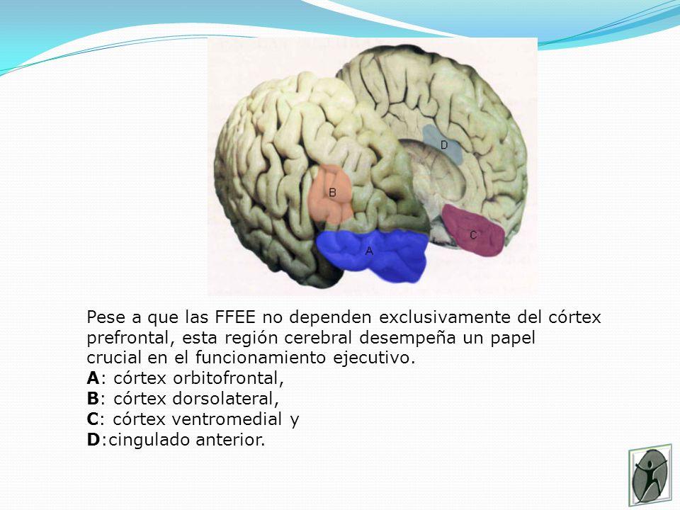 Pese a que las FFEE no dependen exclusivamente del córtex prefrontal, esta región cerebral desempeña un papel