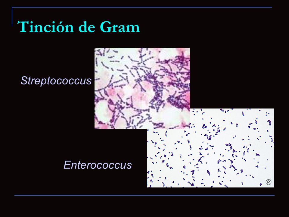 Tinción de Gram Streptococcus Enterococcus