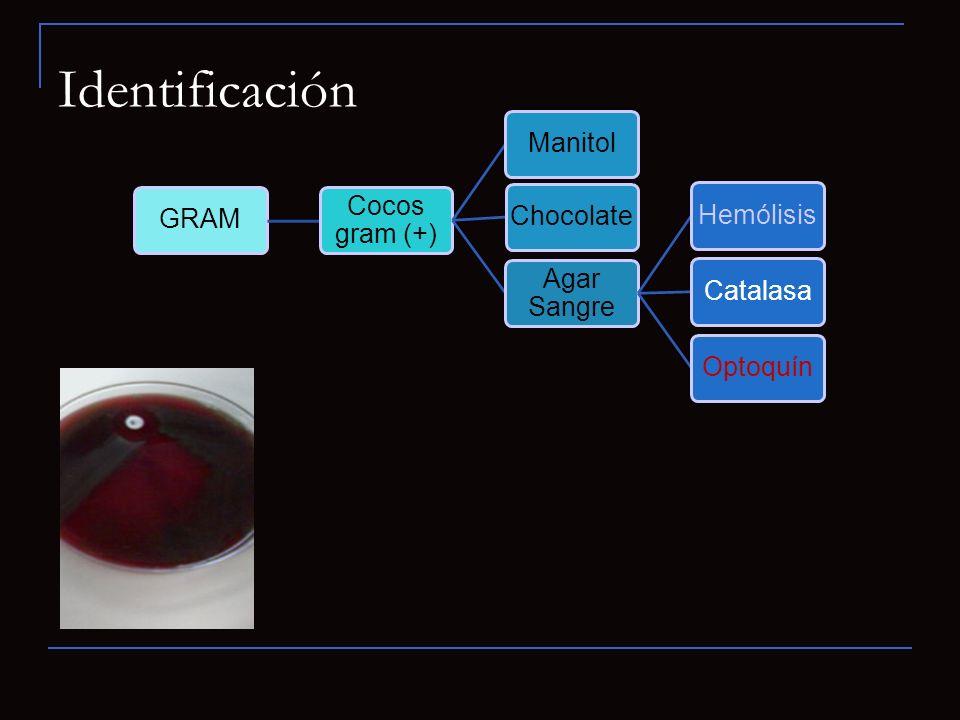 Identificación 31 GRAM Cocos gram (+) Manitol Chocolate Agar Sangre