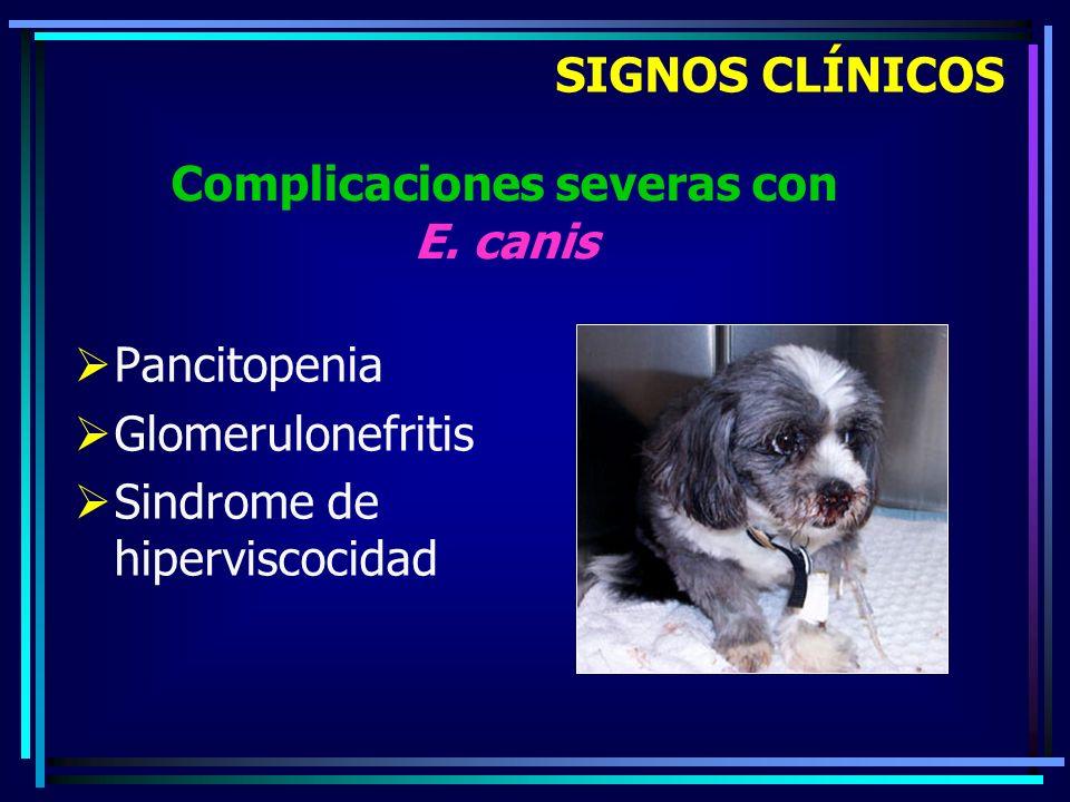 Complicaciones severas con E. canis
