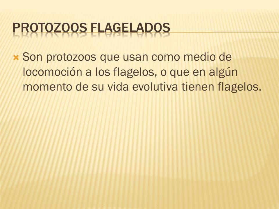 PROTOZOOS FLAGELADOS Son protozoos que usan como medio de locomoción a los flagelos, o que en algún momento de su vida evolutiva tienen flagelos.