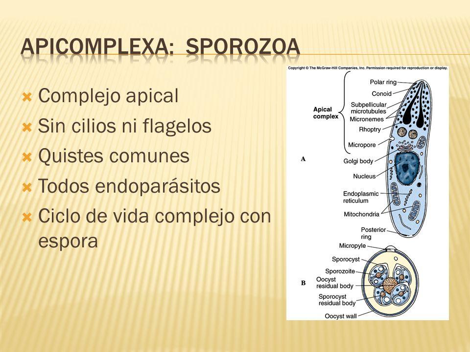 Apicomplexa: sporozoa