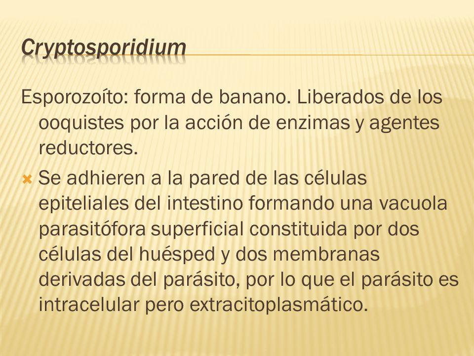 Cryptosporidium Esporozoíto: forma de banano. Liberados de los ooquistes por la acción de enzimas y agentes reductores.
