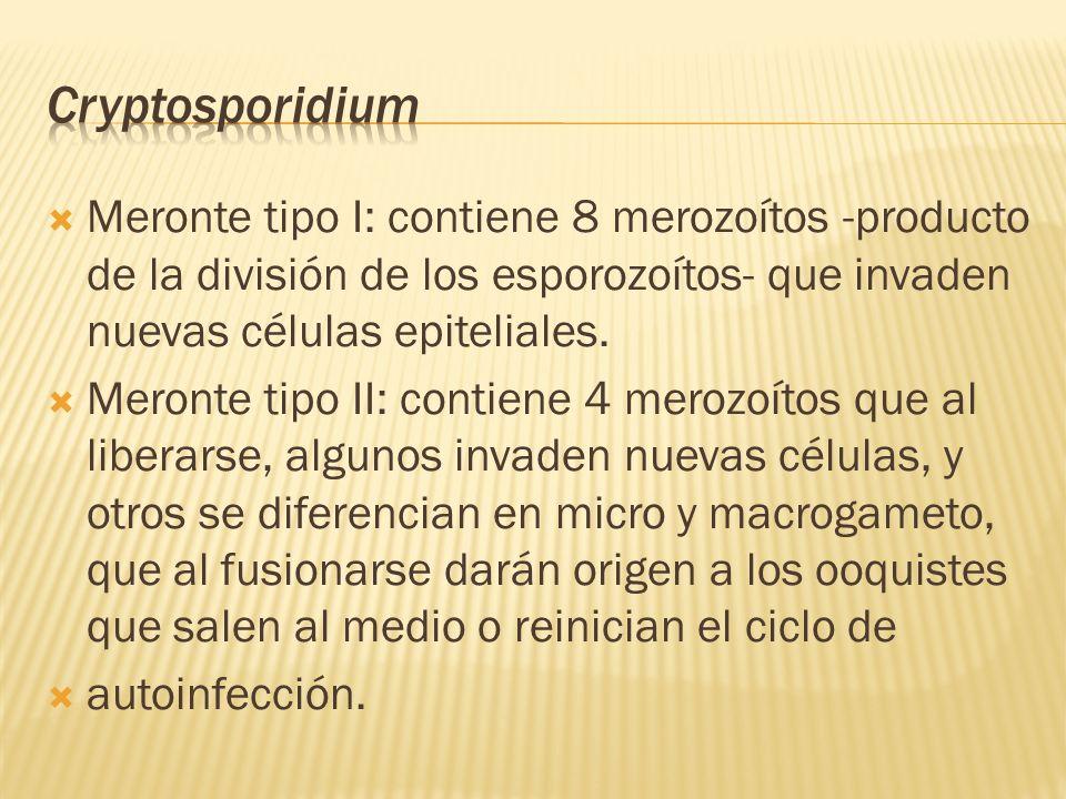 Cryptosporidium Meronte tipo I: contiene 8 merozoítos -producto de la división de los esporozoítos- que invaden nuevas células epiteliales.