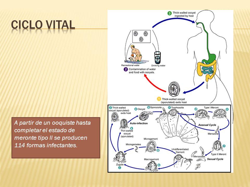 Ciclo vital A partir de un ooquiste hasta completar el estado de meronte tipo II se producen 114 formas infectantes.