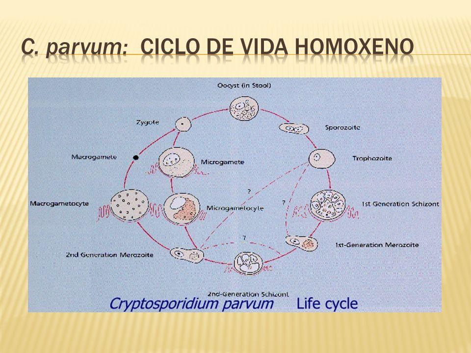 C. parvum: ciclo de vida homoxeno