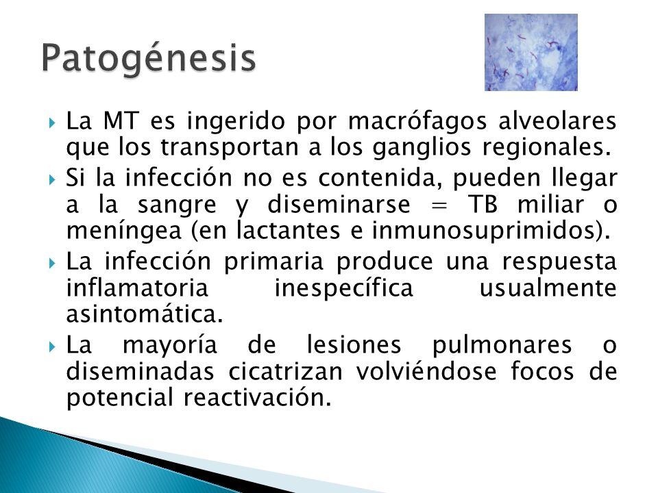 Patogénesis La MT es ingerido por macrófagos alveolares que los transportan a los ganglios regionales.