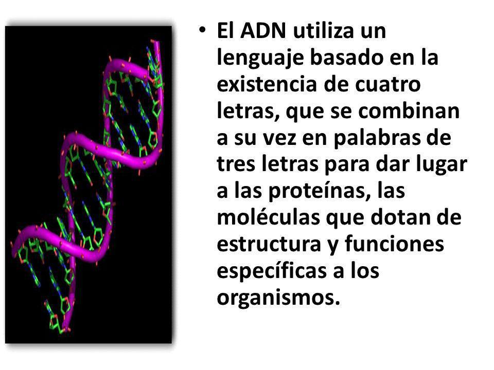 El ADN utiliza un lenguaje basado en la existencia de cuatro letras, que se combinan a su vez en palabras de tres letras para dar lugar a las proteínas, las moléculas que dotan de estructura y funciones específicas a los organismos.