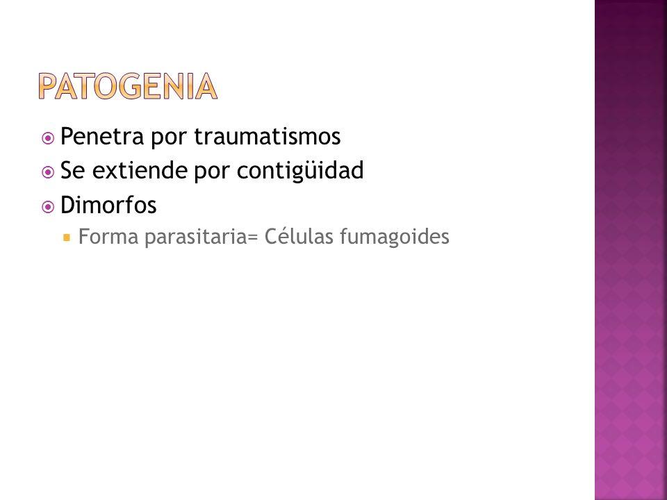 patogenia Penetra por traumatismos Se extiende por contigüidad