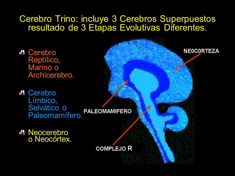 Cerebro Trino: incluye 3 Cerebros Superpuestos resultado de 3 Etapas Evolutivas Diferentes.