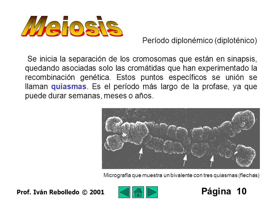 Meiosis Página 10 Período diplonémico (diploténico)