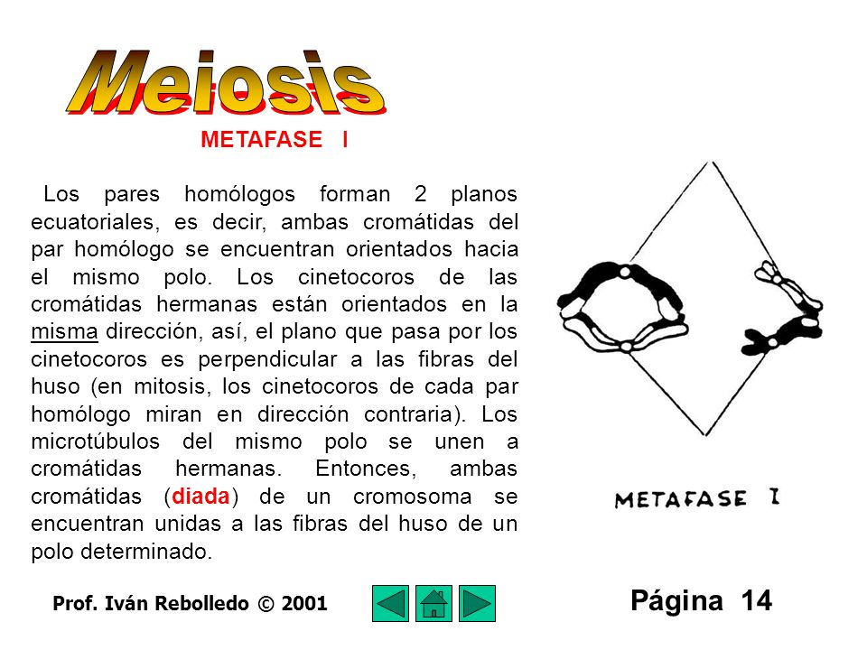 Meiosis Página 14 METAFASE I
