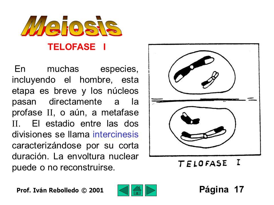 Meiosis TELOFASE I.