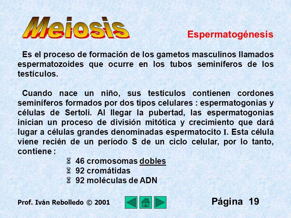 Meiosis Espermatogénesis Página 19