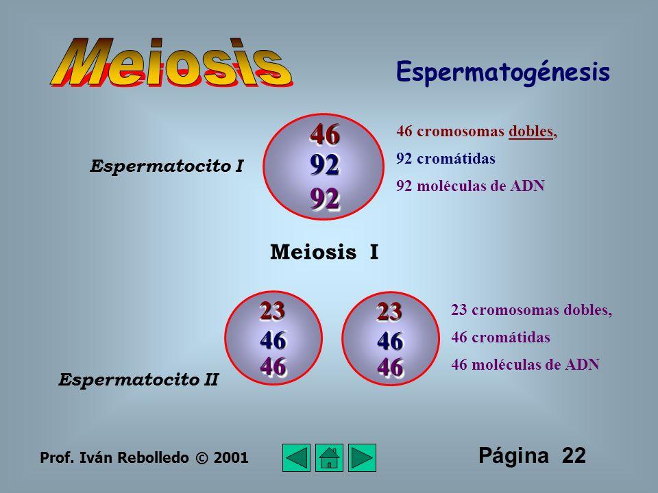 Meiosis 46 92 92 Espermatogénesis 23 23 46 46 46 46 Meiosis I