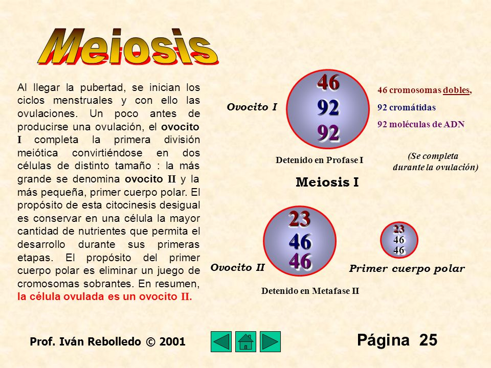 Meiosis 46 92 92 23 46 46 Página 25 Meiosis I