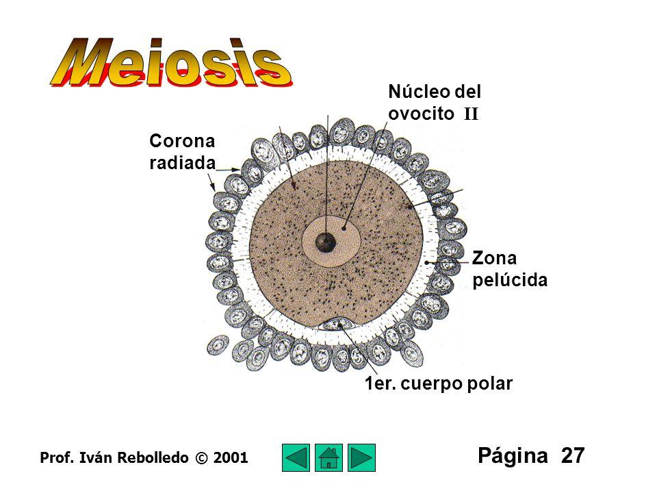 Meiosis Página 27 Núcleo del ovocito II Corona radiada Zona pelúcida
