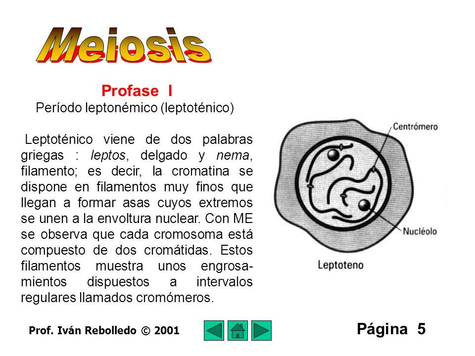 Meiosis Profase I Página 5 Período leptonémico (leptoténico)