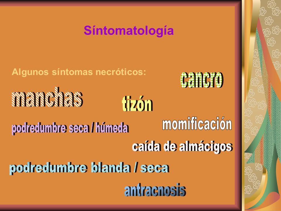 manchas Síntomatología cancro tizón Algunos síntomas necróticos: