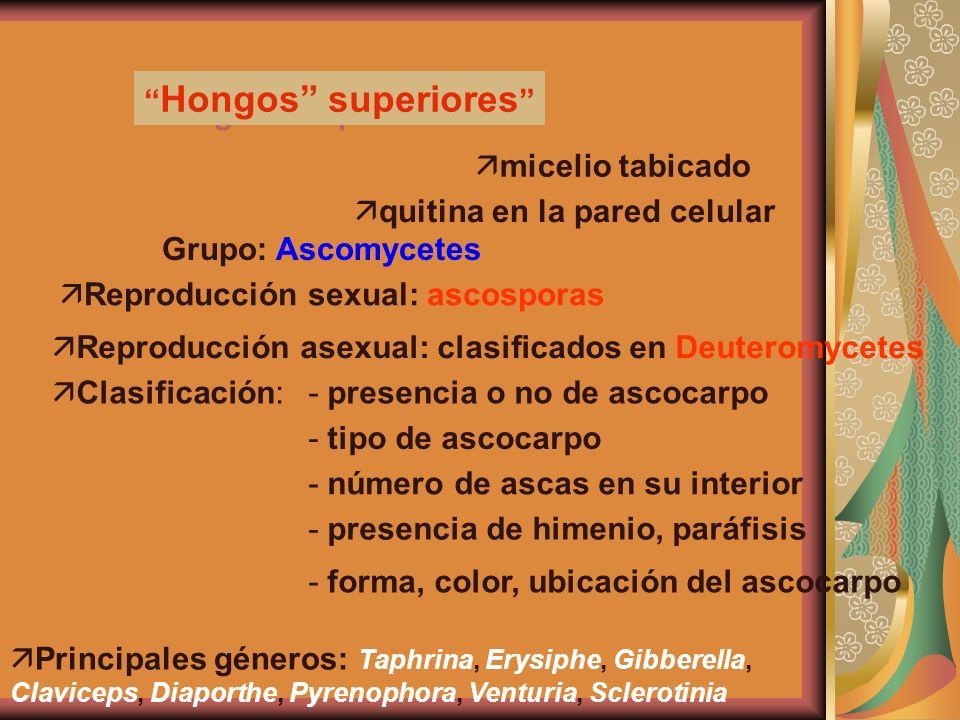 Hongos Superiorers: