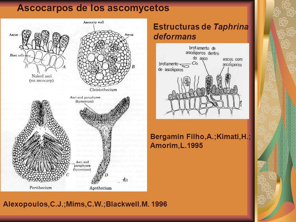 Ascocarpos de los ascomycetos