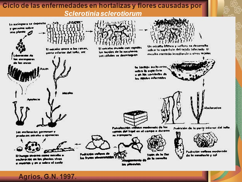 Ciclo de las enfermedades en hortalizas y flores causadas por
