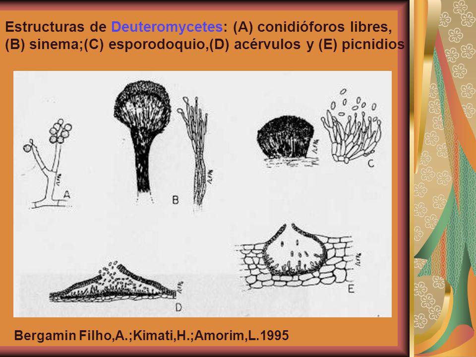 Estructuras de Deuteromycetes: (A) conidióforos libres,