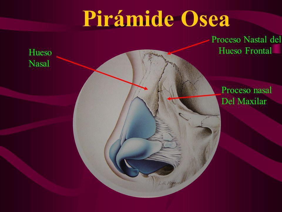 Pirámide Osea Proceso Nastal del Hueso Frontal Hueso Nasal