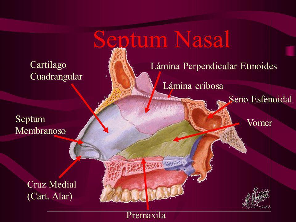 Septum Nasal Cartílago Lámina Perpendicular Etmoides Cuadrangular