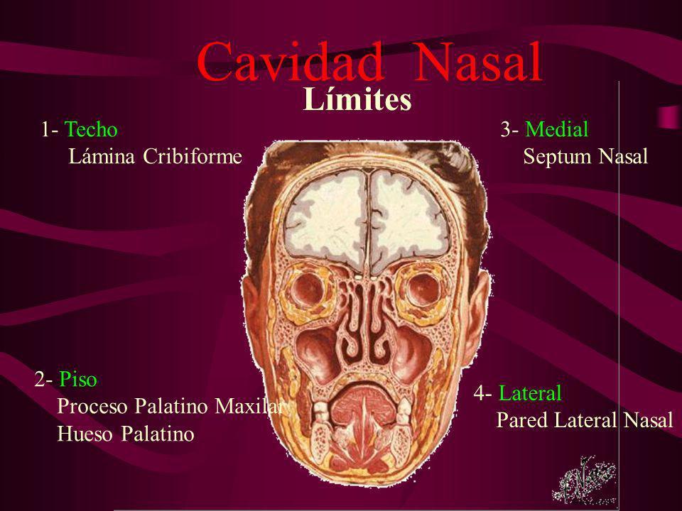 Cavidad Nasal Límites 1- Techo Lámina Cribiforme 3- Medial
