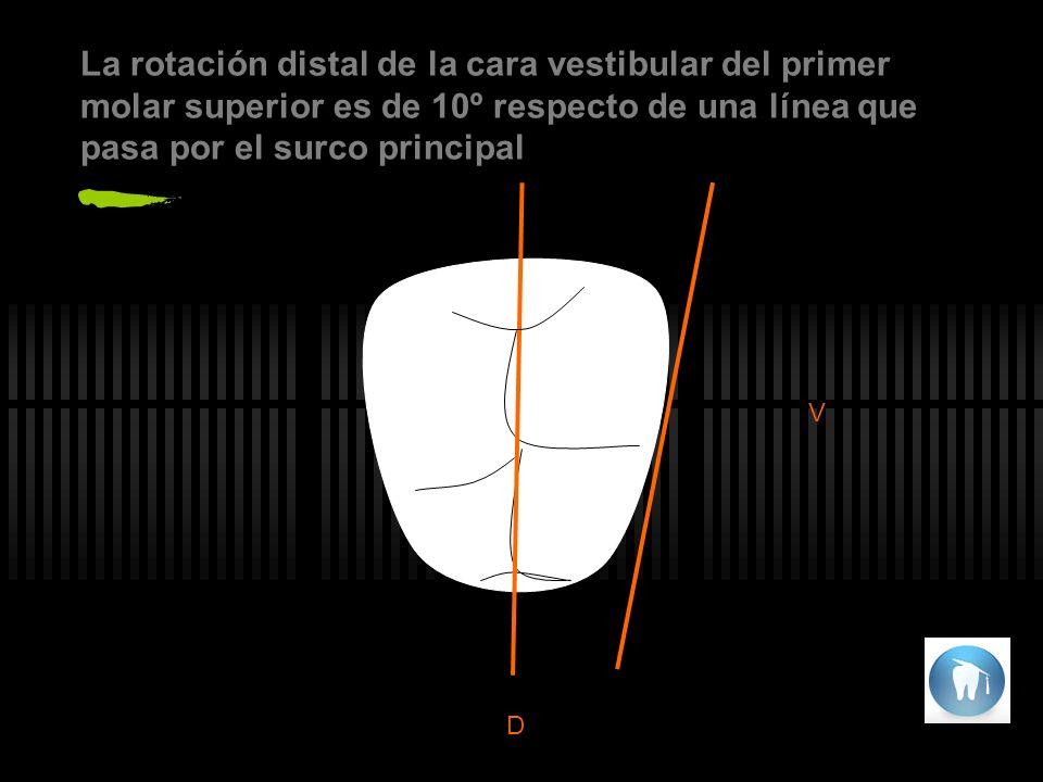 La rotación distal de la cara vestibular del primer molar superior es de 10º respecto de una línea que pasa por el surco principal