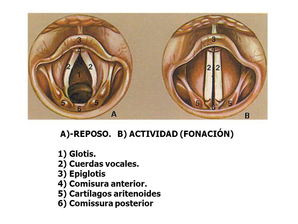 A)-REPOSO. B) ACTIVIDAD (FONACIÓN) 1) Glotis. 2) Cuerdas vocales.