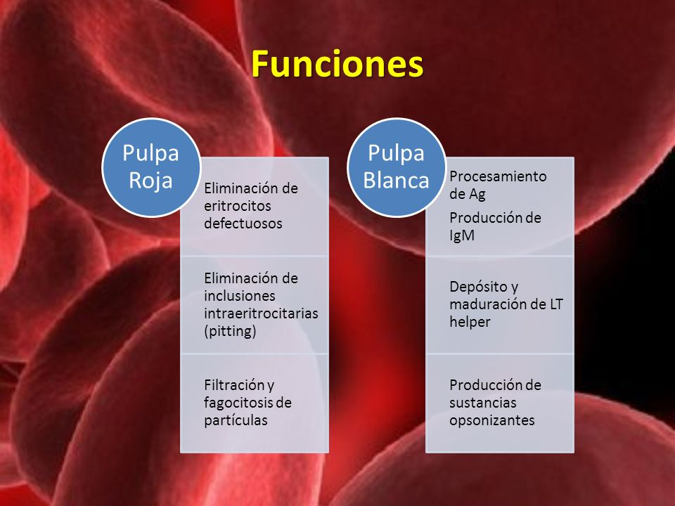 Funciones Pulpa Roja Eliminación de eritrocitos defectuosos