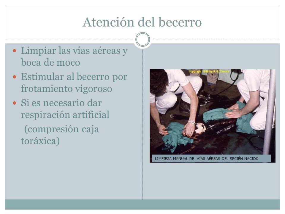 Atención del becerro Limpiar las vías aéreas y boca de moco