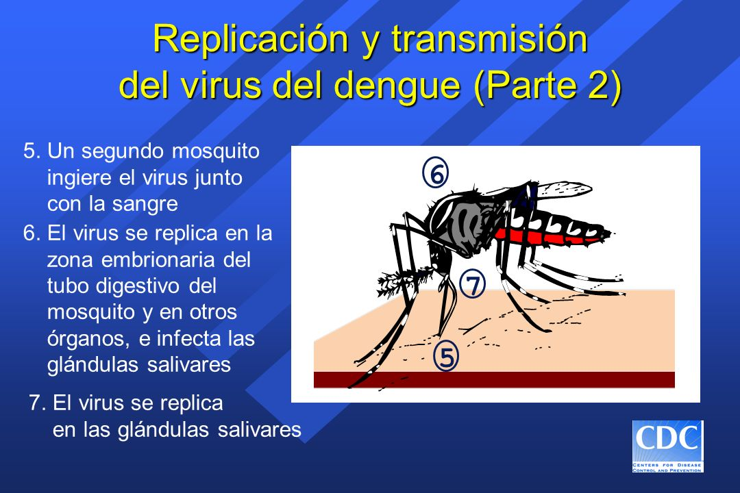 Replicación y transmisión del virus del dengue (Parte 2)