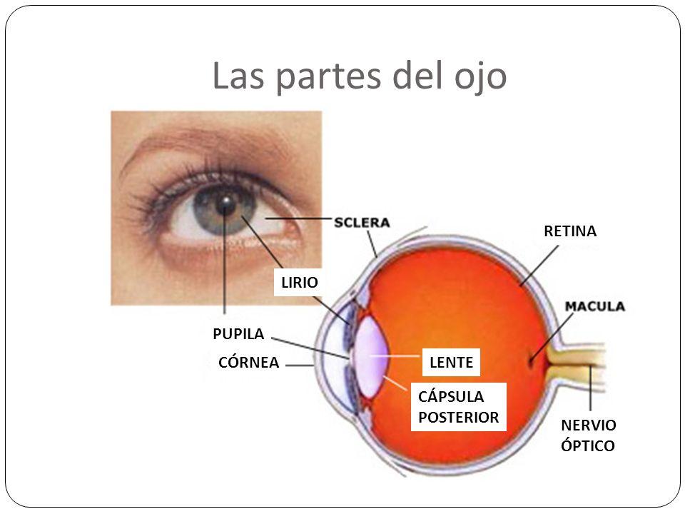 Las partes del ojo RETINA LIRIO PUPILA CÓRNEA LENTE CÁPSULA POSTERIOR