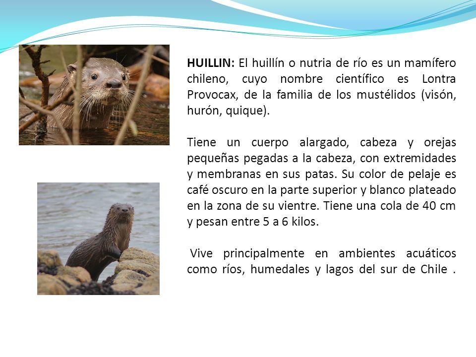 HUILLIN: El huillín o nutria de río es un mamífero chileno, cuyo nombre científico es Lontra Provocax, de la familia de los mustélidos (visón, hurón, quique).