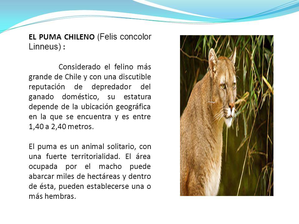 EL PUMA CHILENO (Felis concolor Linneus) :