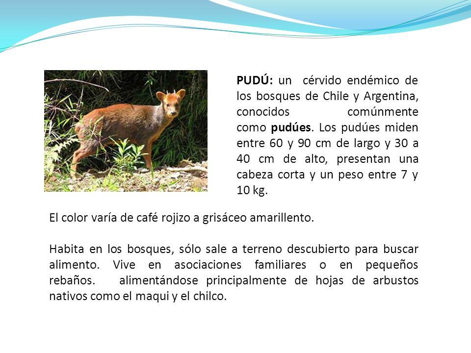 PUDÚ: un cérvido endémico de los bosques de Chile y Argentina, conocidos comúnmente como pudúes. Los pudúes miden entre 60 y 90 cm de largo y 30 a 40 cm de alto, presentan una cabeza corta y un peso entre 7 y 10 kg.