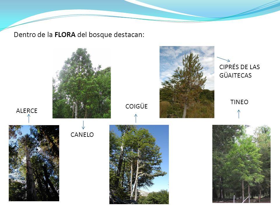 Dentro de la FLORA del bosque destacan: