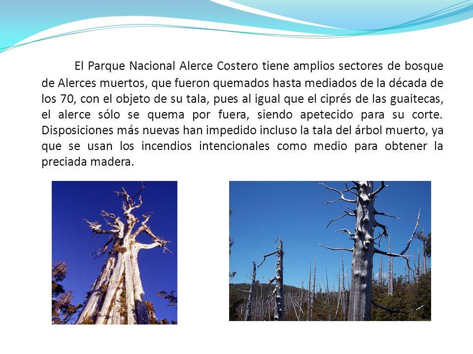 El Parque Nacional Alerce Costero tiene amplios sectores de bosque de Alerces muertos, que fueron quemados hasta mediados de la década de los 70, con el objeto de su tala, pues al igual que el ciprés de las guaitecas, el alerce sólo se quema por fuera, siendo apetecido para su corte.