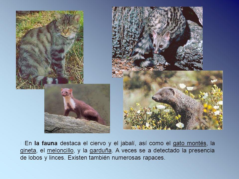 En la fauna destaca el ciervo y el jabalí, así como el gato montés, la gineta, el meloncillo, y la garduña.